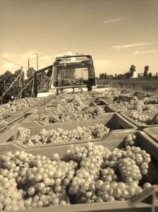 Prosecco oogst