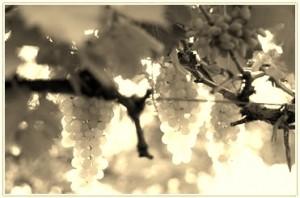 druiventrossen.jpg
